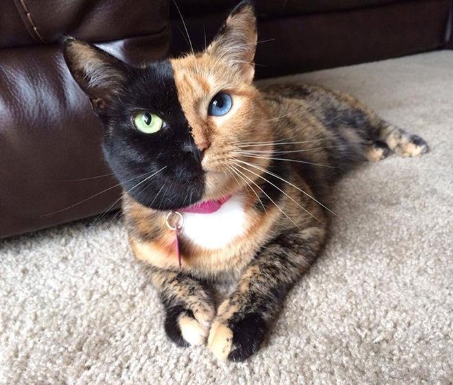 venus-two-faced-cat-12