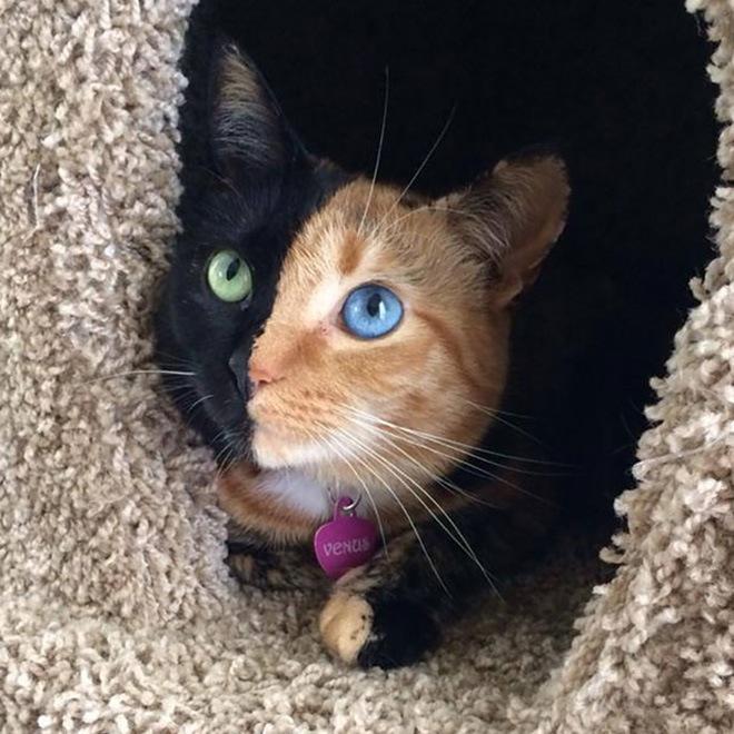 venus-two-faced-cat-14