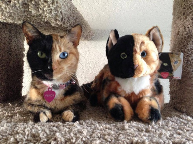 venus-two-faced-cat-3