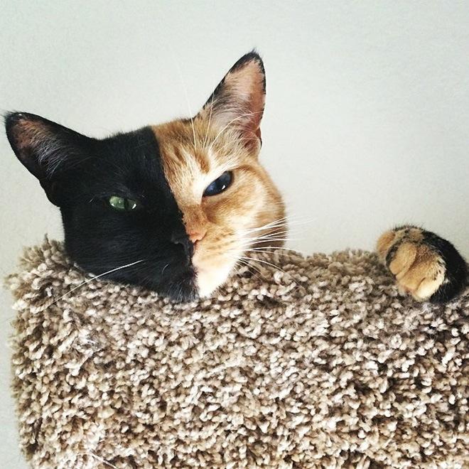 venus-two-faced-cat-5