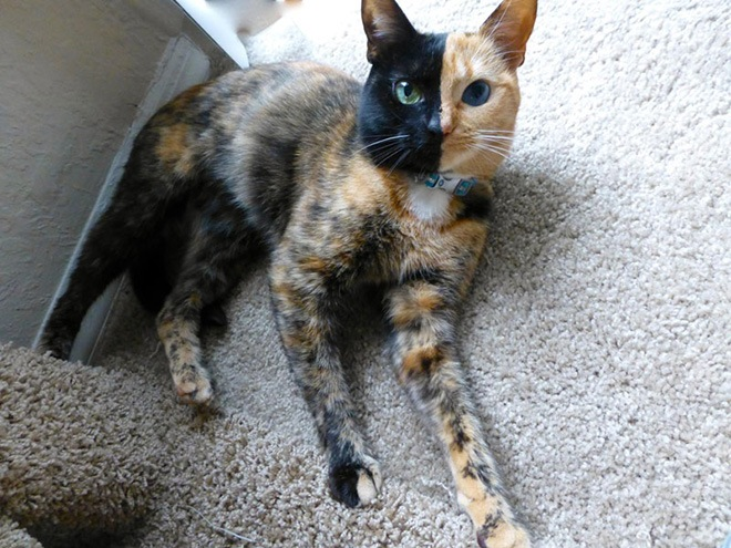 Meet Venus The Most Amazing Cat In The World Page Of - Venus two faced cat