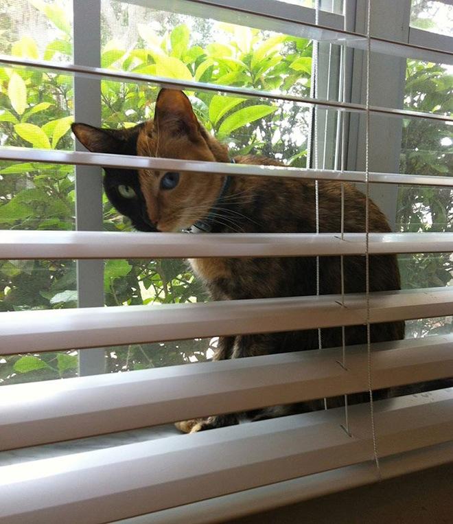 venus-two-faced-cat-7