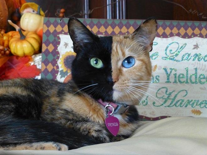 venus-two-faced-cat-9