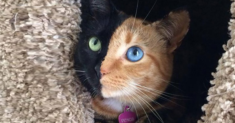 venus-two-faced-cat
