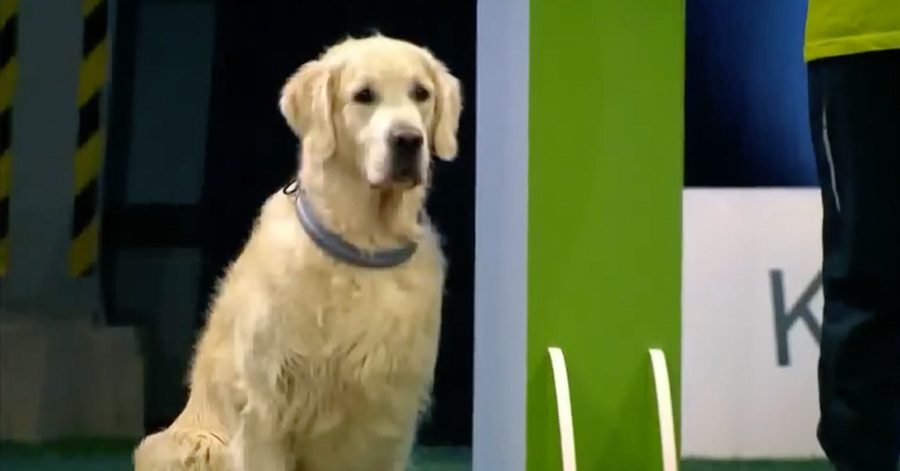 golden-retriever-obedience-competition-fail