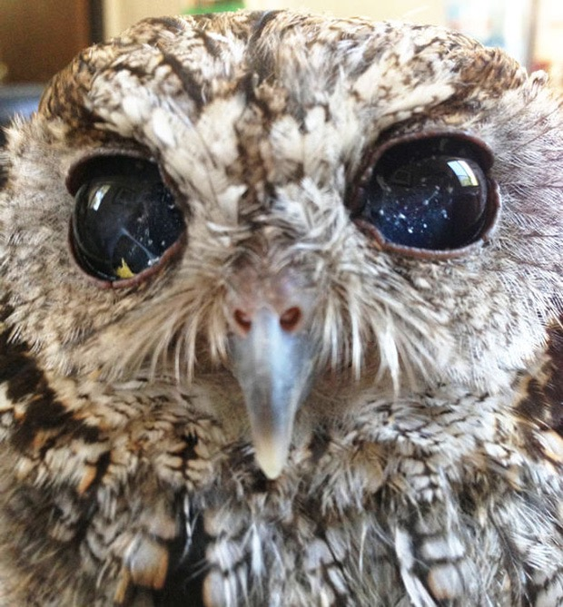 zeus-blind-owl-1