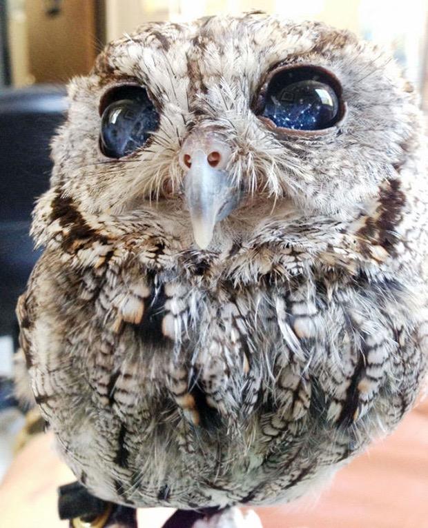 zeus-blind-owl-2