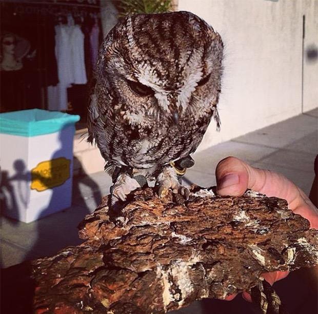 zeus-blind-owl-3