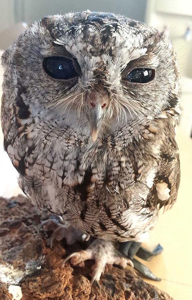 zeus-blind-owl-4