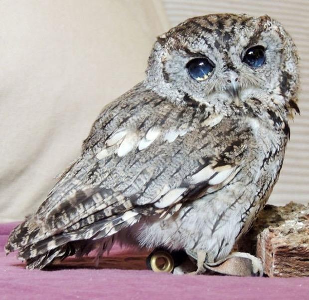 zeus-blind-owl-6