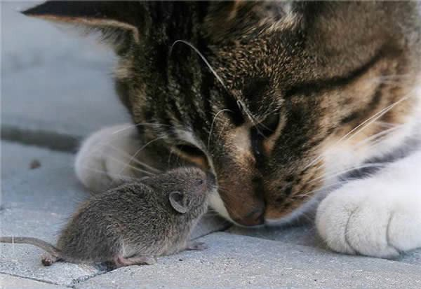 cats-being-friends-with-mice-1