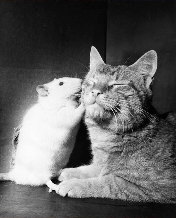 cats-being-friends-with-mice-10