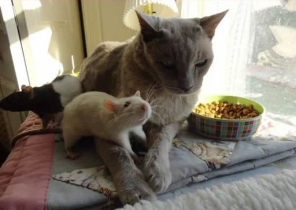 cats-being-friends-with-mice-12