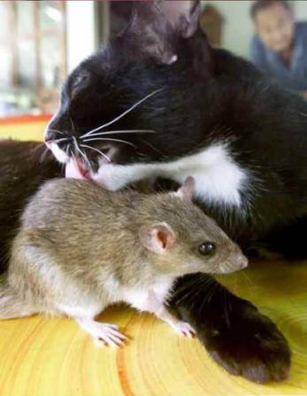 cats-being-friends-with-mice-15