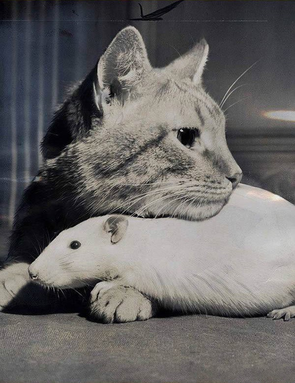 cats-being-friends-with-mice-16