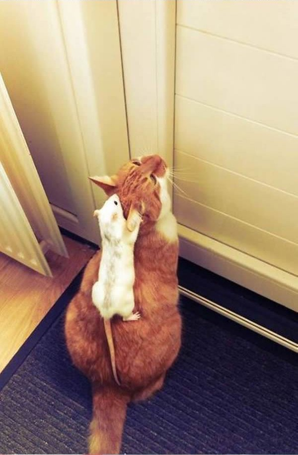 cats-being-friends-with-mice-17