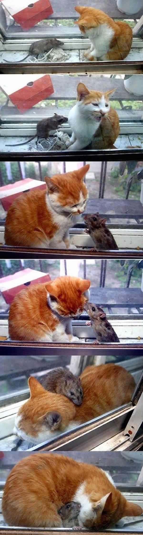 cats-being-friends-with-mice-18
