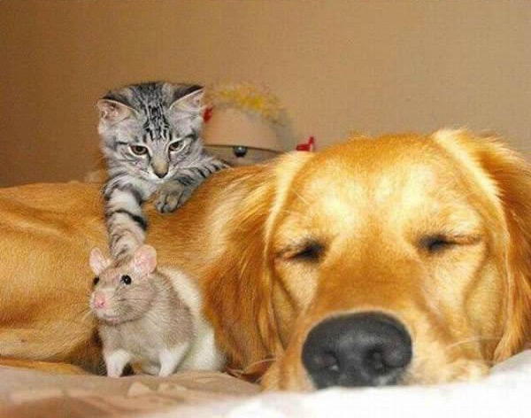 cats-being-friends-with-mice-19