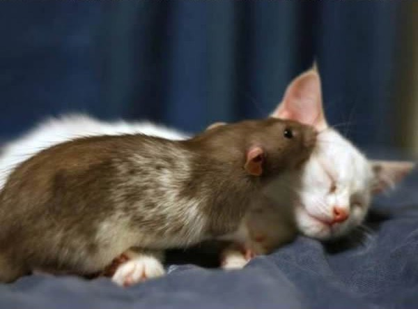 cats-being-friends-with-mice-2