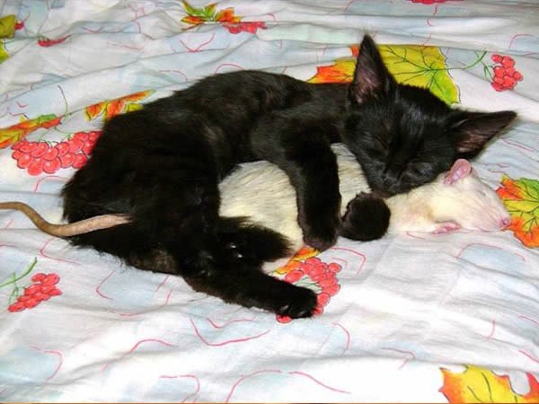 cats-being-friends-with-mice-4