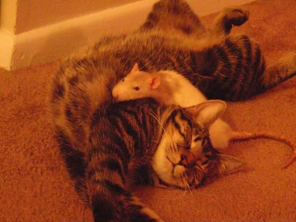cats-being-friends-with-mice-5