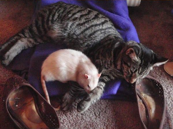cats-being-friends-with-mice-6