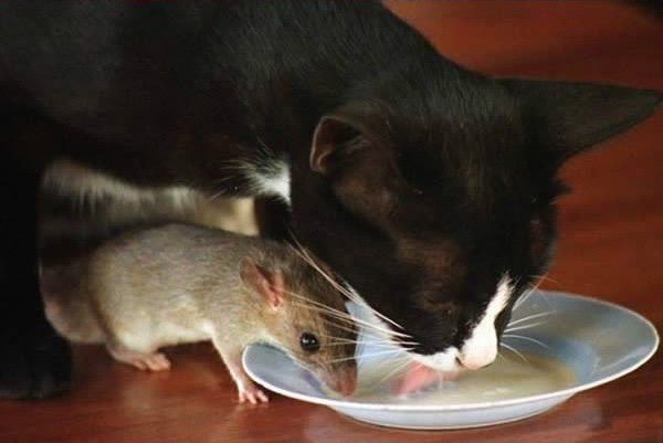cats-being-friends-with-mice-7