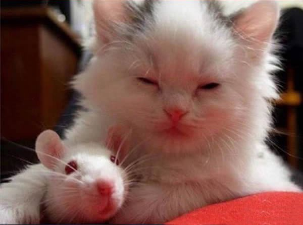 cats-being-friends-with-mice-8