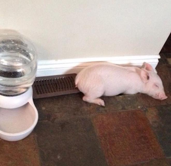 esther-wonder-pig-1