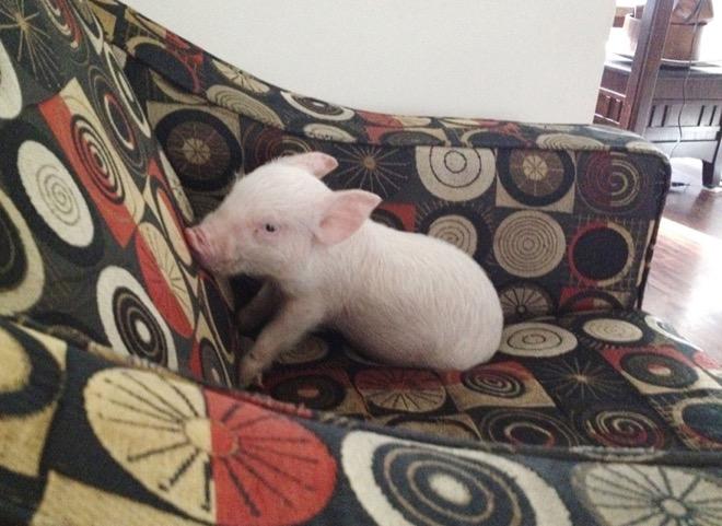 esther-wonder-pig-11