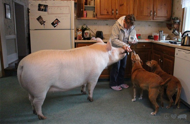 esther-wonder-pig-7