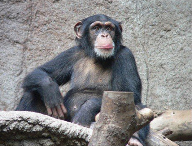 chimp_06