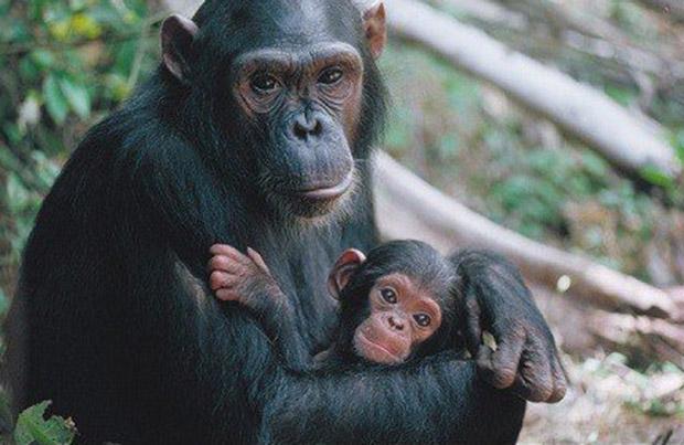 chimp_13