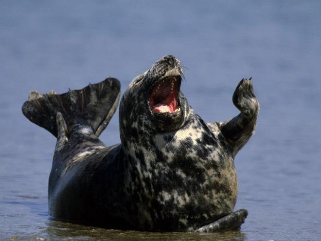 laughing-seals-7