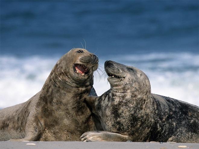 laughing-seals-8