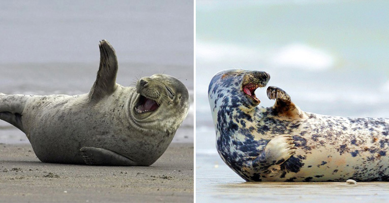 These Laughing Seals Are The Funniest Thing You Ll See Today