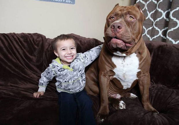 hulk-biggest-pitbull-world-10