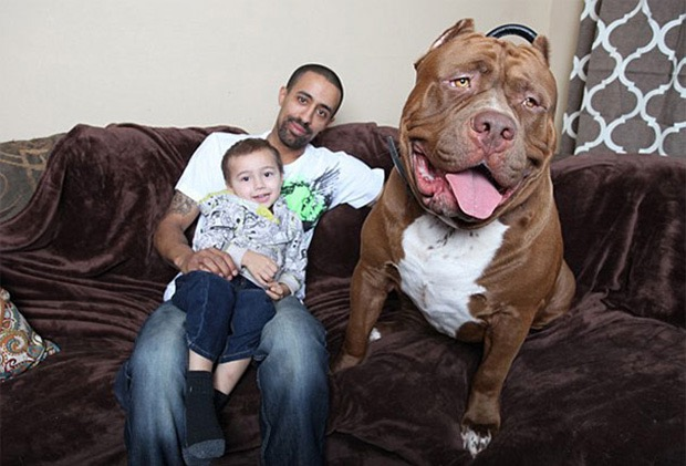 hulk-biggest-pitbull-world-4