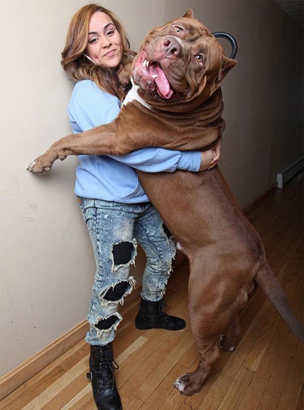 hulk-biggest-pitbull-world-6