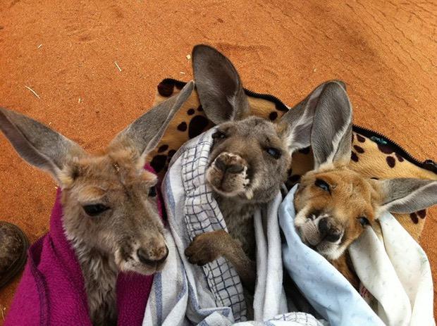 kangaroo-sanctuary-slice-springs-12