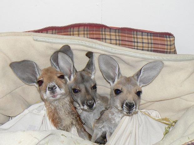 kangaroo-sanctuary-slice-springs-5