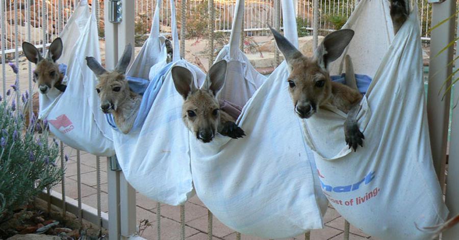 kangaroo-sanctuary-slice-springs