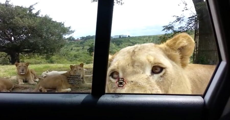 what-if-during-a-safari-a-lion-opened-your-car-door