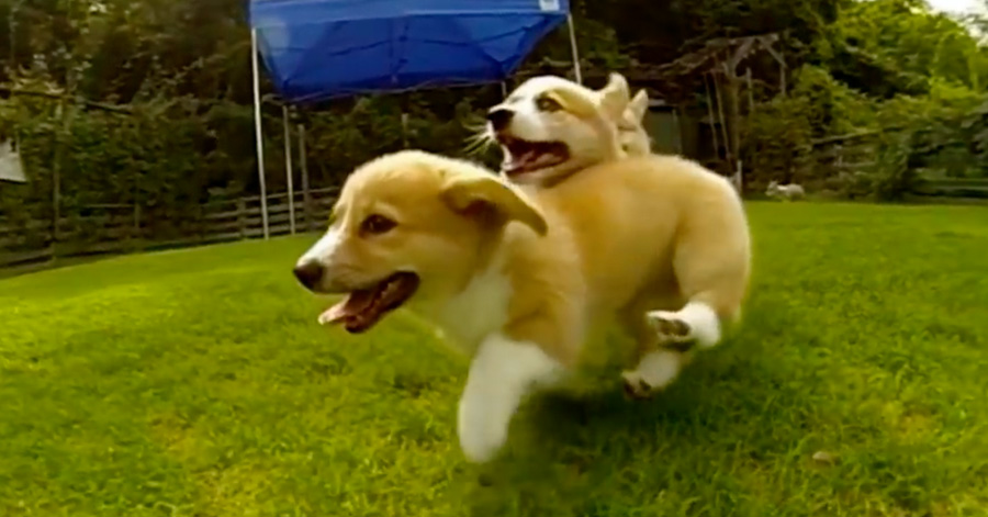 These Baby Corgis Running In Slow Motion Are The Most Hilariously - These baby corgis running in slow motion are the most hilariously adorable thing in the world