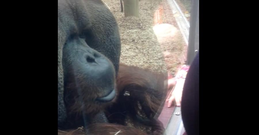 orangutan-try-to-kiss-pregnat-woman