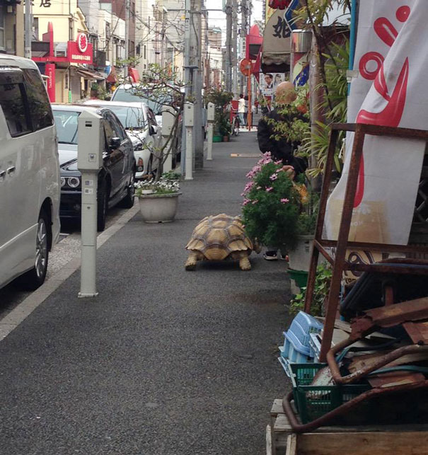The Most Patient Pet In The World. Owner Walks His Huge Tortoise On The Streets Of Tokio