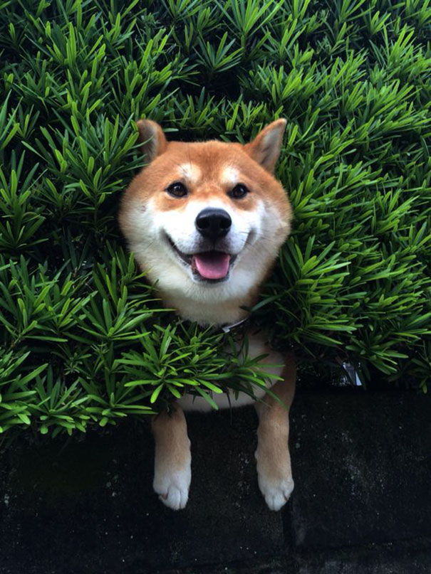This Shiba Inu stuck in a bush will teach you a funny lesson