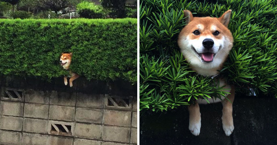 this-shiba-inu-stuck-in-a-bush-will-teach-you-a-funny-lesson