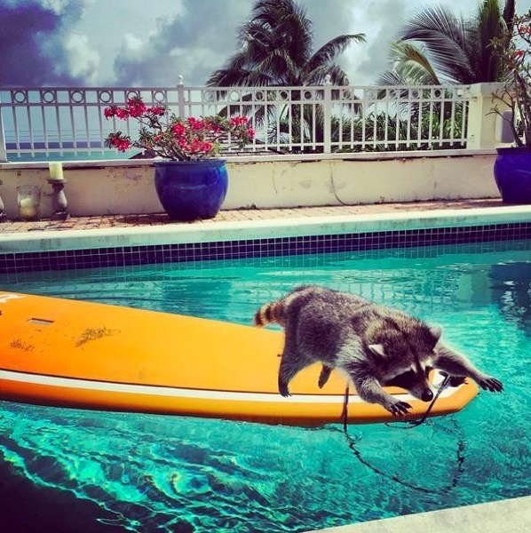 Orphaned Raccoon Raised By A Family With Dogs Thinks She's One Of Them, Too