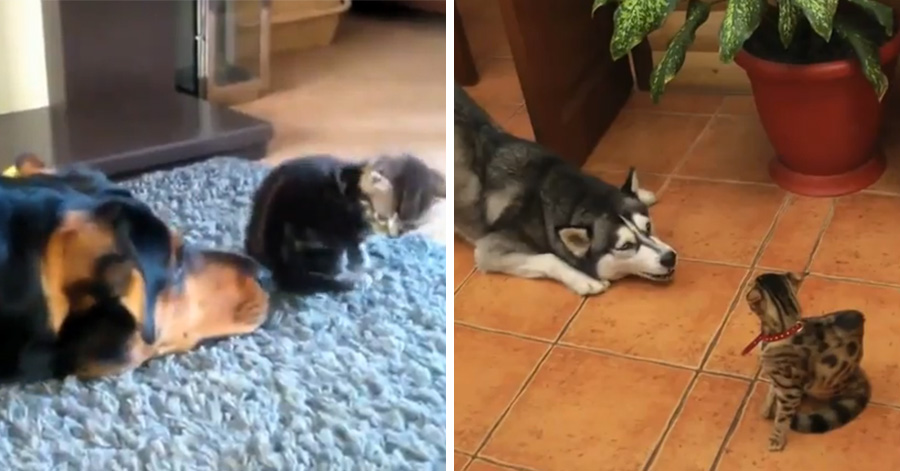 dogs-annoying-cats